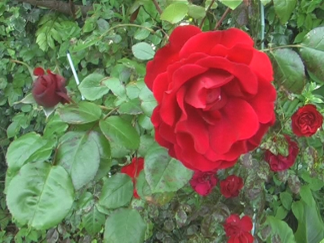 Roses Nov 2012