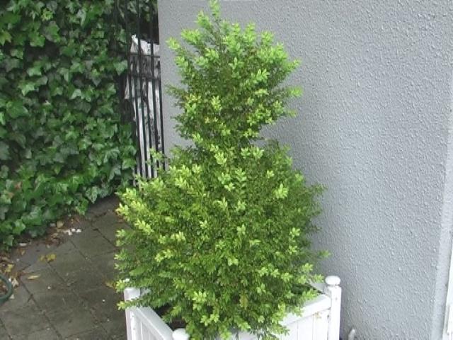 Shaping Box hedge 2012